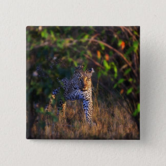 Leopard (Panthera Pardus) as seen in the Masai Button