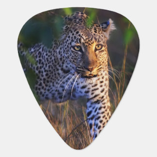 Leopard (Panthera Pardus) as seen in the Masai Guitar Pick