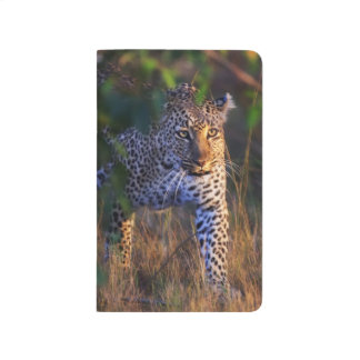 Leopard (Panthera Pardus) as seen in the Masai Journal