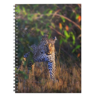 Leopard (Panthera Pardus) as seen in the Masai Notebook