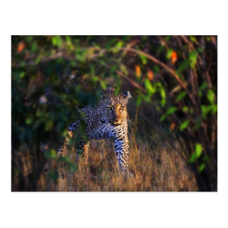 Leopard Panthera Pardus as seen in the Masai Post Cards