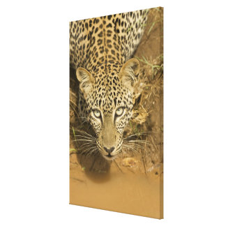 Leopard, Panthera pardus, drinking from a Canvas Print