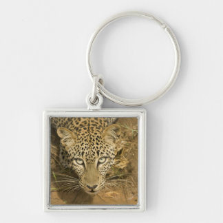 Leopard, Panthera pardus, drinking from a Keychain