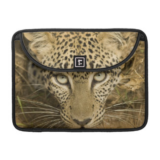 Leopard, Panthera pardus, drinking from a MacBook Pro Sleeve