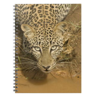 Leopard, Panthera pardus, drinking from a Notebook