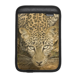 Leopard, Panthera pardus, drinking from a Sleeve For iPad Mini