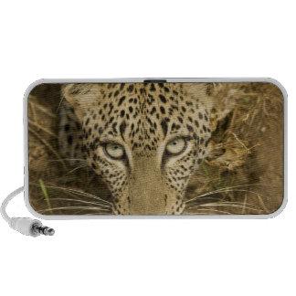 Leopard, Panthera pardus, drinking from a Laptop Speaker