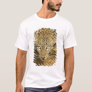 Leopard, Panthera pardus, drinking from a T-Shirt