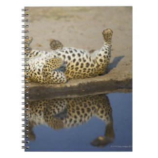 Leopard (Panthera pardus) female rolling on Notebook