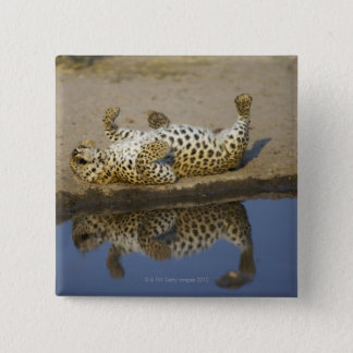 Leopard (Panthera pardus) female rolling on Pinback Button