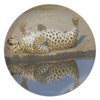 Leopard (Panthera pardus) female rolling on Plate