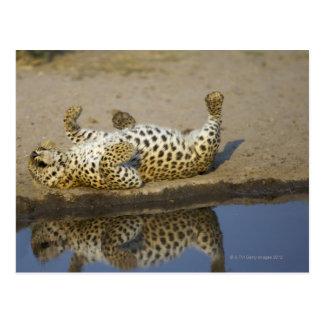 Leopard (Panthera pardus) female rolling on Postcard