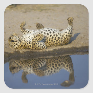 Leopard (Panthera pardus) female rolling on Square Sticker