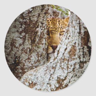 Leopard (Panthera Pardus) Hiding Behind Tree Classic Round Sticker