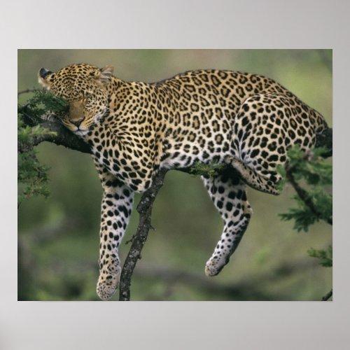 Leopard Panthera pardus Kenya Masai Mara Poster