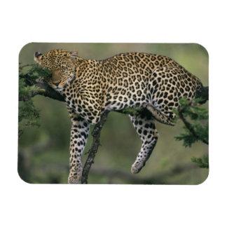 Leopard, (Panthera pardus), Kenya, Masai Mara Rectangular Photo Magnet