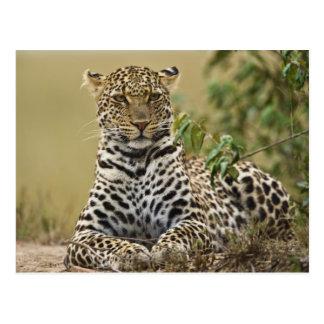 Leopard, Panthera pardus. Masai Mara Game Postcard