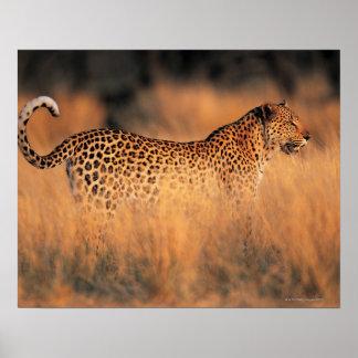 Leopard (Panthera pardus) Poster