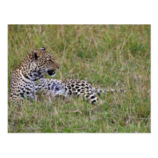 Leopard (Panthera pardus) resting in grass, Post Card