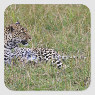 Leopard (Panthera pardus) resting in grass, Square Sticker