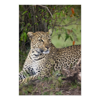 Leopard Panthera pardus) resting, Masai Mara Poster