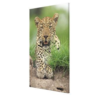 Leopard, Panthera pardus, Sabi Sabi Game Canvas Print