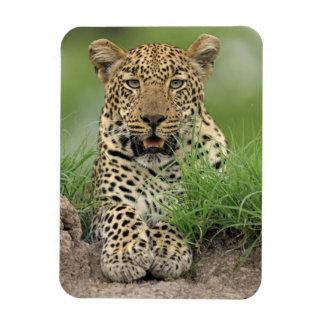 Leopard, Panthera pardus, Sabi Sabi Game Magnet