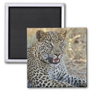 Leopard, Panthera pardus, Samburu Game 2 Inch Square Magnet