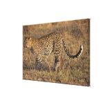 Leopard Panthera pardus) with cub, Masai Mara Canvas Prints