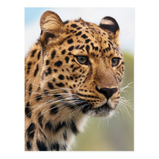 Leopard Photo Postcard