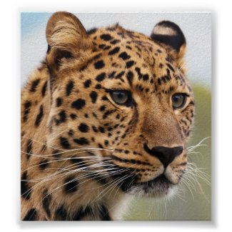 Leopard Photo Poster