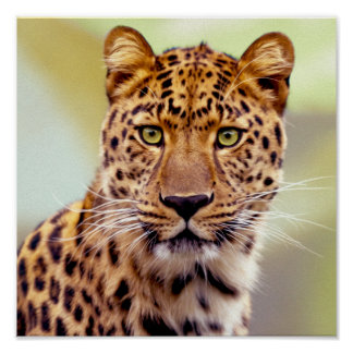 Leopard Photograph Poster