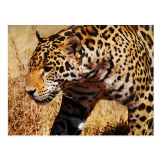 Leopard Post Cards