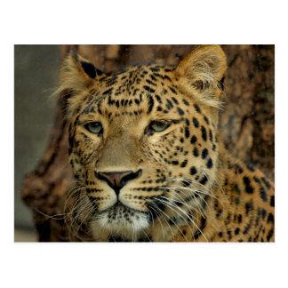 Leopard Post Card