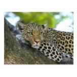 Leopard Postcard