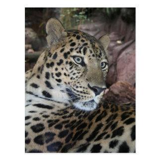 Leopard Postcards
