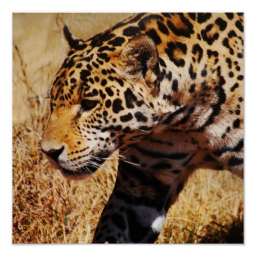 Leopard Prowling Poster