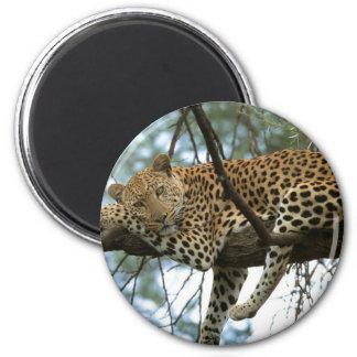 Leopard Resting in Tree Magnet