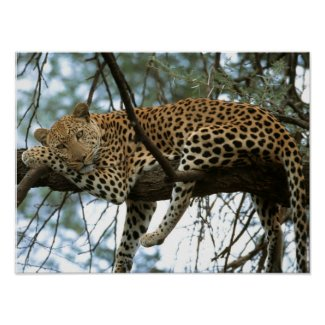 Leopard Resting in Tree Posters
