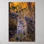 Leopard sitting, Botswana, Africa Poster