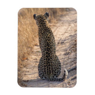 Leopard sitting in road, Africa Magnet