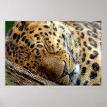 Leopard sleeping poster