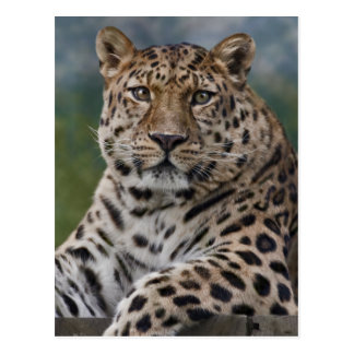 Leopard Thoughts Postcard