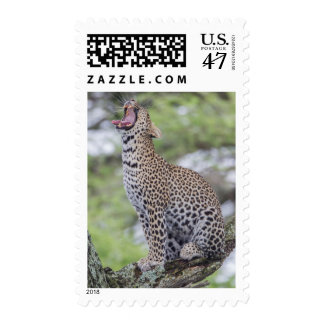 Leopard yawning, South Africa Postage