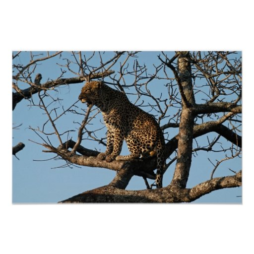 Leopard Yawns While Sitting on a Tree Limb Posters
