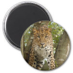 LeopardCheetaro004 Iman De Nevera