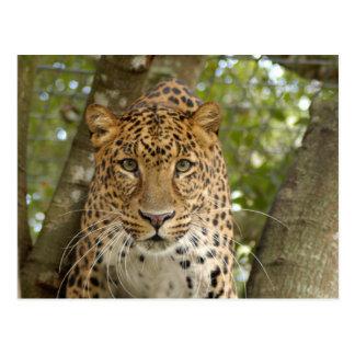 LeopardCheetaro004 Postcard