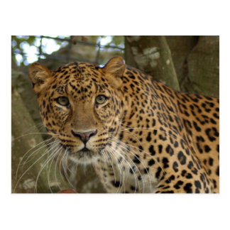 LeopardCheetaro005 Postcard
