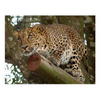 LeopardCheetaro007 Postcard
