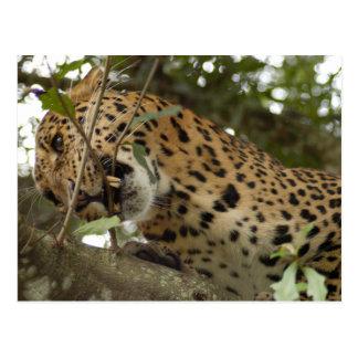 LeopardCheetaro008 Postcard